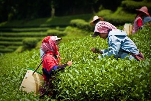 Tea plantation human trafficking india