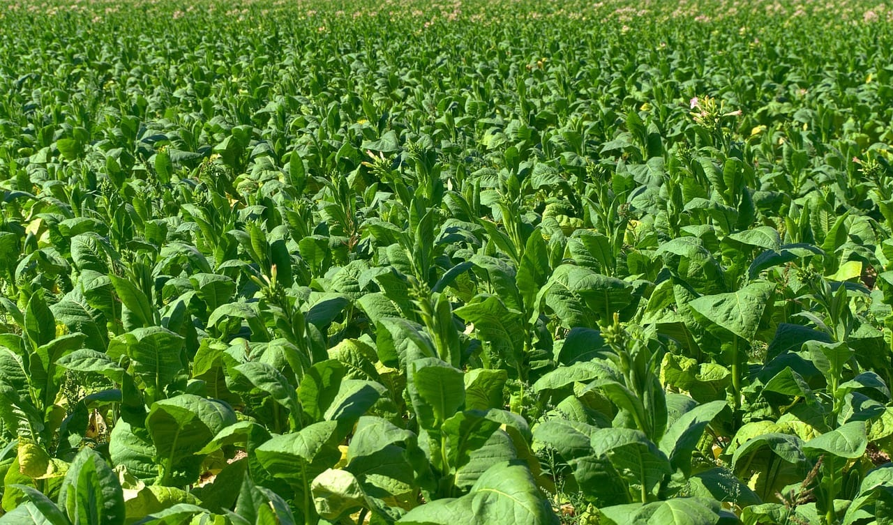 CBP Modifies Withhold Release Order on Imports of Tobacco from Malawi