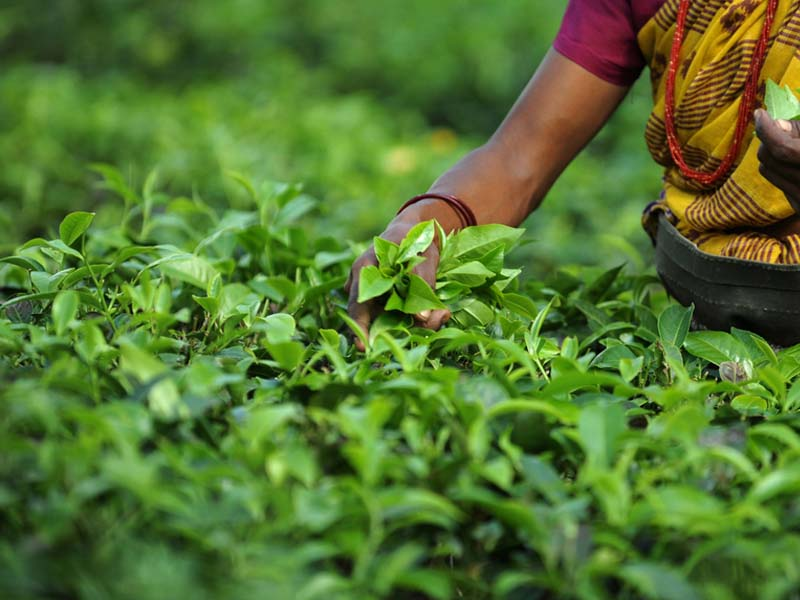 Modern slavery within the tea industry in Bangladesh